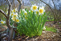 Spring Daffodils. A patch of daffodils in a park during Spring time in Central New Jersey Royalty Free Stock Photos