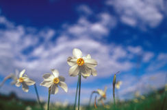 Spring daffodils. Stock Images