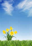 Spring daffodils. Fresh spring daffodils on green grass under a blue sky royalty free stock images