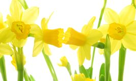 Spring daffodils Royalty Free Stock Image