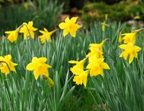Spring daffodils Stock Image