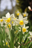 Spring Daffodils. Multi Spring Daffodils in park Royalty Free Stock Images