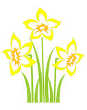 Spring daffodils. Bunch of spring daffodils on a white background Royalty Free Stock Photo