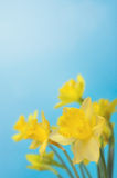 Spring Daffodils against Blue Sky Royalty Free Stock Image