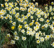 Spring Daffodils - Background Royalty Free Stock Images