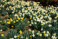 Spring Daffodils - Background Stock Photos