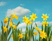 Spring daffodils with blue sky Stock Photo
