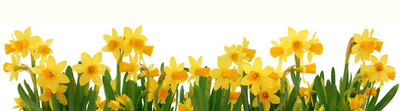 Spring daffodils border Royalty Free Stock Photo