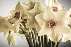 Spring Daffodils - Creamy Hues Stock Photography
