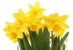 Spring daffodils cutout in a studio Stock Photos