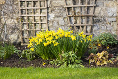 Spring Daffodils in an English Country garden Royalty Free Stock Photography