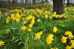 Spring daffodils Stock Photography
