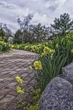 Closeup of daffodils decorating edge of path Stock Photography
