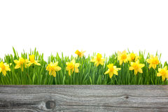 Spring daffodils flowers Royalty Free Stock Photo