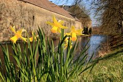Spring, daffodils in front of a castle wall. Plants of the Amaryllidaceae amaryllis family royalty free stock image