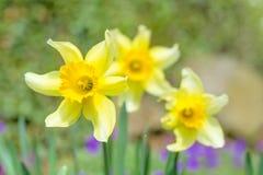 Spring daffodils in garden Stock Photos