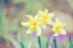 Spring daffodils in garden, in vintage light pastel colors Royalty Free Stock Photography