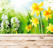 Spring daffodils and hyacinths stock photography