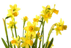 Spring daffodils with rain drops Stock Images