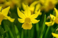 Spring daffodils. Shallow depth of field Royalty Free Stock Photos