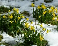 Spring Daffodils in the snow. A group of spring daffodils in the grass and snow Stock Photography