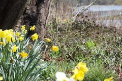Spring daffodils in the sun beneath a tree stock images