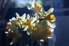Spring daffodils in the sunlight Stock Image