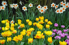Spring daffodils and tulips Stock Photos