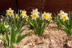 Spring Daffodils Stock Photos