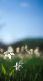Spring daffodils in the warm light of sunset. Spring daffodils in the warm light of sunset in Narcissi Valley. Narcissi Valley is located in Ukraine. It is a Stock Photo