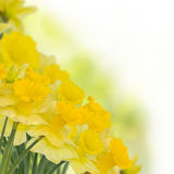 Spring daffodils on white Stock Photo