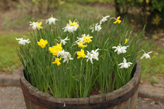 Spring daffodils Stock Images