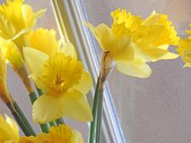 Spring daffodils at the window Stock Photo
