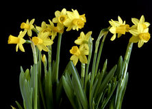 Spring dafodil Stock Photos