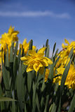 Spring Dafodils Stock Photos