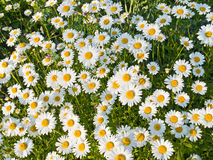 Spring Daisies. A field of wild daisies in early Spring Stock Photos