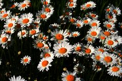 Spring Daisies royalty free stock photo