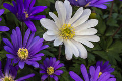 Free Spring Daisies Stock Images - 51596014