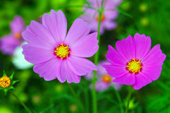 Spring Daisies. Two pink spring daisies with natural background Stock Photography