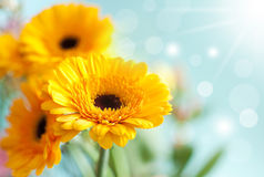 Spring daisies Stock Images