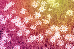 Spring daisies close up background Stock Images