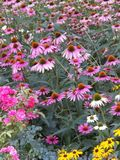 Spring Daisies. Gerber purple springtime flowers wild sunflowers narcissisms pink yellow nature stock photography