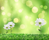 Spring Daisies Royalty Free Stock Images