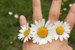 Spring, daisies in the hand Stock Photos