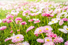Spring daisies meadow stock photography