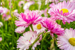 Spring daisies meadow Royalty Free Stock Images