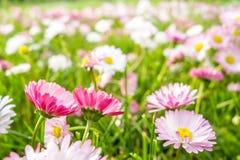 Spring daisies meadow Stock Photos