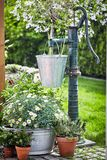 Spring daisies in a metal tub near old water pump. White spring daisies growing in a metal tub below a hanging galvanised pail hanging from an old water pump on stock image