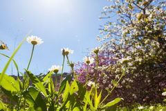 Spring daisies in mountain area Stock Images