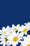 Spring daisies Stock Photography